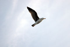 A flying seagull Stock Photos