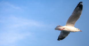 Flying seagull in concept of high speed Royalty Free Stock Photo