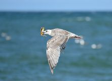 Flying seagull with crab Stock Photo