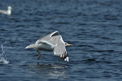 Flying seagull in the Danube delta reserve Royalty Free Stock Image