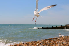 A flying seagull on the Eastbourne beach. A flying seagull on the beautiful Eastbourne beach Royalty Free Stock Photography