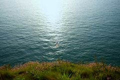 Flying seagull at Etretat cliffs at sunset royalty free stock photography