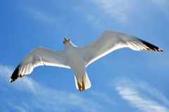 Flying seagull. Stock Photos