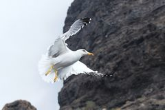 Flying seagull. Onver the rocks Royalty Free Stock Images