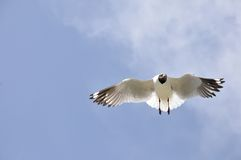 Flying seagull. 2014.4.23  flyingfreedom gliding glow gull high landing marine nature ocean portrait sea seabird seagull sky soar Stock Images