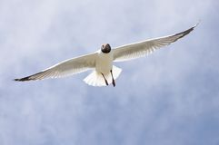 Flying seagull. 2014.4.23  flyingfreedom gliding glow gull high landing marine nature ocean portrait sea seabird seagull sky soar Royalty Free Stock Photos