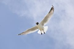 Flying seagull. 2014.4.23  flyingfreedom gliding glow gull high landing marine nature ocean portrait sea seabird seagull sky soar Royalty Free Stock Images