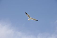 Flying seagull. 2014.4.23  flyingfreedom gliding glow gull high landing marine nature ocean portrait sea seabird seagull sky soar Royalty Free Stock Photo