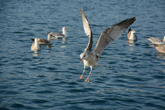 Flying seagull. Seagull with food in his beak down to the sea Royalty Free Stock Photos