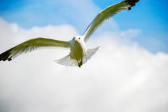 Flying seagull. Front view with sky on background Stock Photos