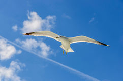 A flying seagull Royalty Free Stock Images