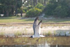 Flying seagull hovering close to the bay water. Seagull soaring right above bay water, wings out, centered at eye level. Cape San Blas, Florida Royalty Free Stock Photos
