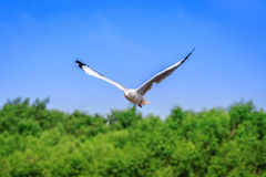 A flying seagull hovers over mangrove forest Royalty Free Stock Photography