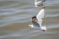 A flying seagull hovers over sea Stock Photos