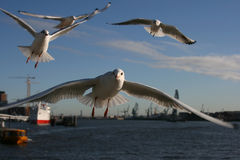 Flying Seagull I. A picture of a seagull at a harbor Royalty Free Stock Photo