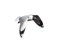 Flying seagull isolated on white background Stock Photos