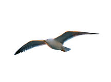 Seagull in sunset light isolated on white background Royalty Free Stock Photography