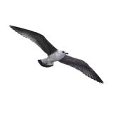 Flying seagull Stock Image