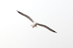 Flying seagull isolated on white. Seagull flying in the isolated sky symbol of freedom Royalty Free Stock Photography