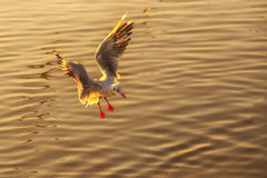 Flying seagull landed on water Stock Photo