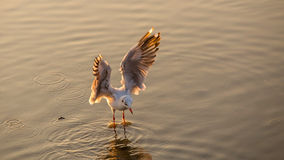 Flying seagull landed on water Stock Image