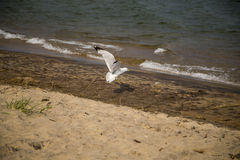 Flying Seagull landing on a beach Royalty Free Stock Photos