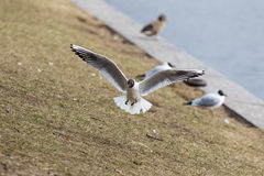 Flying seagull lands Royalty Free Stock Image