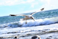 Flying seagull Royalty Free Stock Photo
