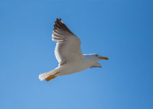 Flying Seagull  - Mont Saint Michel , Brittany, France Royalty Free Stock Images