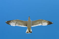 Flying seagull Royalty Free Stock Photos