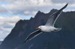 Flying seagull in mountains, Norway royalty free stock images