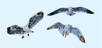 Flying Seagull On Light Blue Background. Royalty Free Stock Images