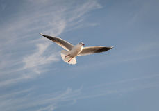 Flying Seagull Over Black Sea Stock Photography