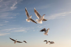 Flying Seagull over black sea Royalty Free Stock Photos