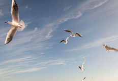 Flying Seagull over black sea Royalty Free Stock Image