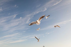 Flying Seagull over black sea Stock Image