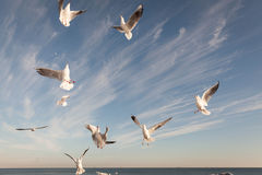 Flying Seagull over black sea Stock Photos