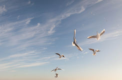 Flying Seagull over black sea Royalty Free Stock Photo