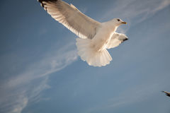 Flying Seagull over black sea Stock Images