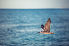 Flying seagull over the blue sea on sunrise Stock Images