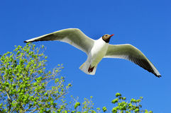 Flying seagull over the blue sky Royalty Free Stock Photos