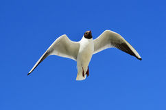 Flying seagull over the blue sky Stock Image