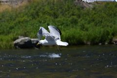 Flying Seagull over a river Stock Photo