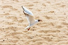 A flying seagull over the sand of the bay. Royalty Free Stock Photography