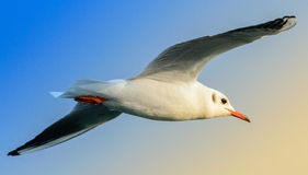 Flying seagull. A seagull flying over the sea Stock Image