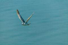 Flying seagull. Royalty Free Stock Photos