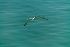Flying seagull. Royalty Free Stock Photography