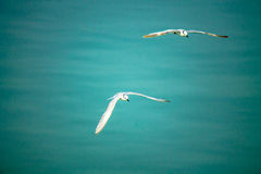 Flying seagull. Royalty Free Stock Images