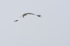 Flying Seagull over water Stock Image