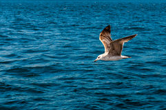 flying seagull over the waves Stock Images